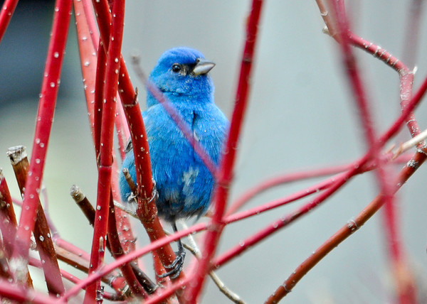 """<div class=""""jaDesc""""> <h4>Male Indigo Bunting in Red-twig Dogwood - May 4, 2014</h4> <p> He was checking out the feeder area from this safe spot in the red-twig dogwood bush.</p> </div>"""