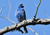 "<div class=""jaDesc""> <h4> Male Indigo Bunting Singing - June 5, 2014 - Video Attached</h4> <p> This male Indigo Bunting is singing to protect his nesting territory. </p>  </div> <center> <a href=""http://www.youtube.com/watch?v=BvtdUkrdbjM"" style=""color: #0AC216"" class=""lightbox""><strong> Play Video</strong></a> </center>"