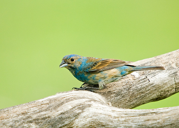 "<div class=""jaDesc""> <h4>2nd Year Male Indigo Bunting - July 27, 2008</h4> <p>I was puzzled at first as to what this bird could be.  It is a 2nd year male Indigo Bunting.  I checked with an expert to determine this.  In the second year the male Indigo Bunting is mostly blue with brown mottling.  He doesn't get his brilliant solid blue coloring until the 3rd year. </p> </div>"