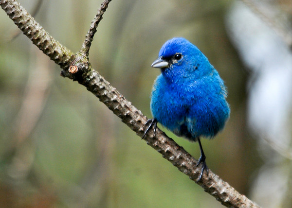 "<div class=""jaDesc""> <h4>Male Indigo Bunting Close-up - July 8, 2014</h4> <p>I got an even closer look at the Indigo Bunting later after hanging around the edge of Octorara Reservoir for awhile.</p> </div>"