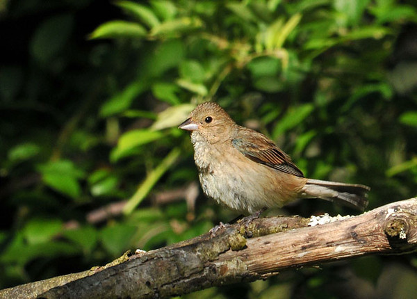 "<div class=""jaDesc""> <h4>Female Indigo Bunting in Morning Sun - July 1, 2010</h4> <p>The female Indigo Bunting is sitting on eggs while the male perches in a tree overhead. Here she came off the nest briefly to groom herself in the morning sun.</p> </div>"