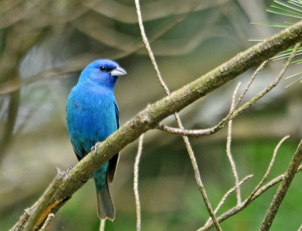 """<div class=""""jaDesc""""> <h4>Male Indigo Bunting Posing - July 8, 2014</h4> <p>At the Octorara Reservoir in Lancaster County, PA this Indigo Bunting was moving all around us as we looked out over the water.  At one point he posed nicely on a pine branch.</p> </div>"""