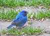 "<div class=""jaDesc""> <h4>Male Indigo Bunting Ground Feeding - May 8, 2016</h4> <p>I was still gushing over the beautiful oriole that had just arrived when I caught a motion to my right.  A gorgeous male Indigo Bunting descended into our yard as well; nature's beauty at its finest! </p></div>"