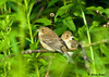 "<div class=""jaDesc""> <h4>Male Indigo Bunting Singing - July 19, 2009</h4> <p>These two fledgling Indigo Buntings were warming themselves in the morning sun.</p> </div>"