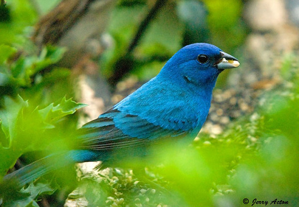 """<div class=""""jaDesc""""> <h4>Male Indigo Bunting in Holly Bush - July 11, 2009</h4> <p>Now that the Indigo Bunting chicks have left their nest, the male Indigo Bunting visits our feeder area several times a day.  He likes to eat the millet and thistle seed that I sprinkle on the holly bush.</p> </div>"""