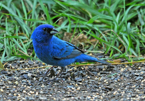 "<div class=""jaDesc""> <h4>Male Indigo Bunting Close-up - July 22, 2010</h4> <p>Now that the Indigo Bunting chicks have left their nests, two male adults are now regularly visiting our yard. They don't have to guard the nest area and alert the female of any danger.</p> </div>"