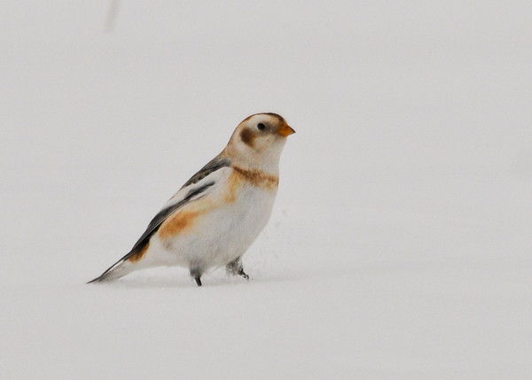 "<div class=""jaDesc""> <h4> Snow Bunting in Fresh Snow - January 1, 2013 </h4> <p>One of the highlights of our Christmas Bird Count outing today was finding a flock of Snow Buntings along the side of a road in Nichols, NY.  This guy flew away from the road out into the field of foot deep snow.</p> </div>"