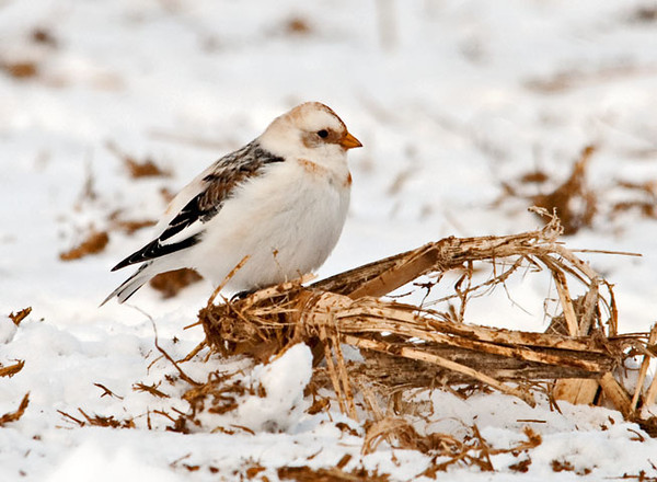 "<div class=""jaDesc""> <h4> Snow Bunting on Corn Stalk- January 24, 2011 </h4> <p>The Snow Buntings move along the ground much like shore birds on the beach, darting quickly back and forth looking for seeds. This guy hopped up on a broken corn stalk and took a break for some grooming.</p> </div>"
