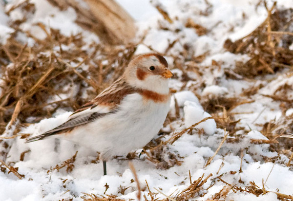 "<div class=""jaDesc""> <h4> Snow Bunting Pausing from Ground Feeding - January 24, 2011 </h4> <p>This cute little Snow Bunting took a brief break from scurrying around looking for seeds.</p> </div>"