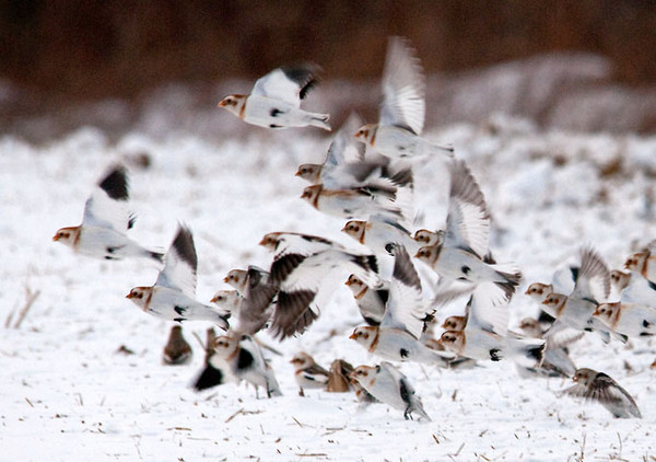 "<div class=""jaDesc""> <h4> Snow Bunting In-flight - January 24, 2011 </h4> <p>Here are 25 of the 200 Snow Buntings coming in for a landing at a new spot to find seed. They are so fast, its like trying to track a flock of Chickadees.</p> </div>"