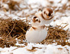 """<div class=""""jaDesc""""> <h4> Snow Bunting Looking Around - January 24, 2011 </h4> <p>To get Snow Bunting shots today, I was in my blind in the middle of a 50 acre cornfield, lying on my belly in 18 inches of snow. The Snow Bunting flock would come by that section of manure spread about every 20 minutes. I had been there for an hour, my hands and feet were numb in zero degree with a 20 MPH breeze. This gal looks toasty warm. Guess I needed a set of arctic feathers.</p> </div>"""