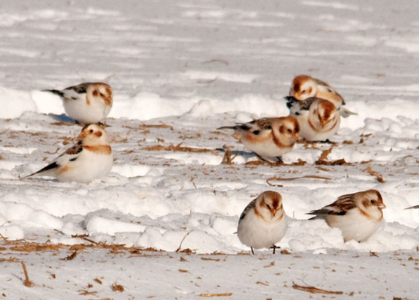 "<div class=""jaDesc""> <h4> Small Group of Snow Bunting Flock - January 22, 2011 </h4> <p> I found a flock of 200+ Snow Buntings feeding in a farm field with freshly spread manure. When they take flight, it is quite a sight to see the mass of glittering bodies zooming around in a tight cloud-like formation.</p> </div>"
