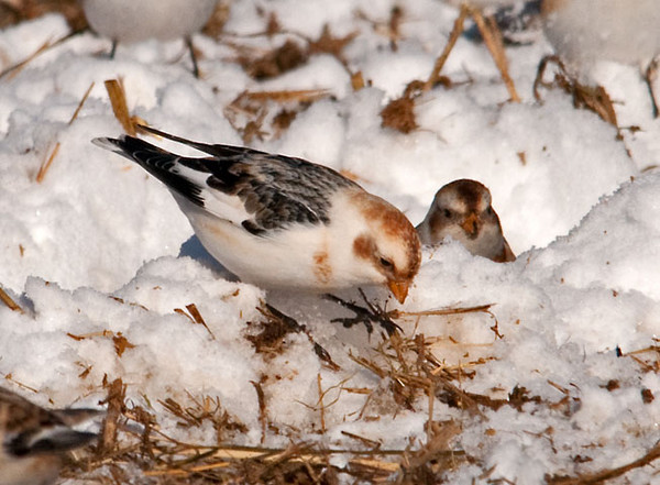 """<div class=""""jaDesc""""> <h4> Snow Buntings Ground Feeding #2 - January 22, 2011 </h4> <p>Here is another Snow Bunting savoring an oat seed that she found in the spread manure. This is their winter plumage with the brown face and neck accents - they do not have them in the spring / summer.</p> </div>"""