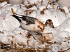 "<div class=""jaDesc""> <h4> Snow Buntings Ground Feeding #2 - January 22, 2011 </h4> <p>Here is another Snow Bunting savoring an oat seed that she found in the spread manure. This is their winter plumage with the brown face and neck accents - they do not have them in the spring / summer.</p> </div>"