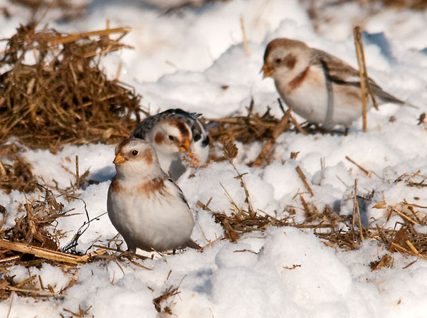 "<div class=""jaDesc""> <h4> Snow Buntings Ground Feeding #1 - January 22, 2011 </h4> <p>Snow Buntings are in constant motion while they ground feed, hunting for seeds among the spread manure and bedding.</p> </div>"