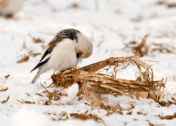 "<div class=""jaDesc""> <h4> Snow Bunting Grooming - January 24, 2011 </h4> <p> In the midst of 100+ Snow Buntings foraging in a snowy manured pasture, this guy decided to stop on a broken corn stalk to catch up on his grooming.</p> </div>"
