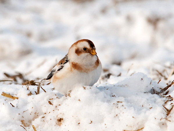 "<div class=""jaDesc""> <h4> Snow Bunting Coming Up Close - January 24, 2011 </h4> <p>This Snow Bunting actually slowed down a bit and came closer to my blind.</p> </div>"