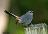 "<div class=""jaDesc""> <h4>Gray Catbird - Red Rump Showing - July 19, 2009 </h4> <p> Rarely are you able to see the reddish feathers under a Catbird's tail.  In this photo, he almost looked like he deliberately had them fluffed to show them off.</p> </div>"