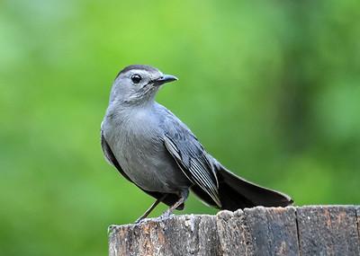 Catbird Posing - June 4, 2019