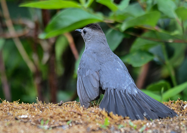 """<div class=""""jaDesc""""> <h4>Catbird in Aggressive Posture - June 28, 2018</h4> <p>This Catbird chased Doves, Starlings and Blackbirds off of the feeding table by strutting around with her tail flared.</p> </div>"""