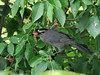 "<div class=""jaDesc""> <h4>Catbird with Serviceberry in Beak - June 5, 2010 </h4> <p>We have a pair of Catbirds nesting nearby.  They come into our yard regularly to feast on the serviceberries.  Yesterday I saw them perched together in one of our crabapple trees.</p> </div>"