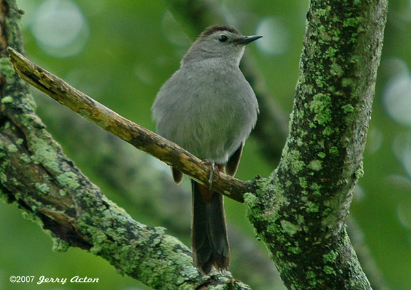 """<div class=""""jaDesc""""> <h4>Catbird """"Meow-ing"""" - June 27, 2006 </h4> <p>One way to get Catbirds to come close is to """"meow"""" like they do.  It works pretty reliably.  This Catbird showed up in front of me within minutes after I started """"meow-ing"""" to it.</p> </div>"""