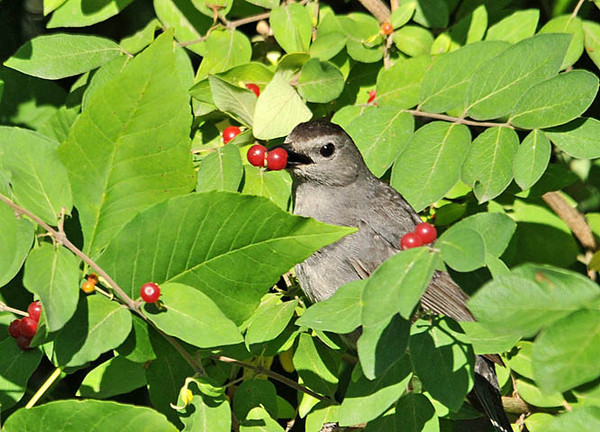 "<div class=""jaDesc""> <h4>Catbird with Double Honeysuckle Berry - August 11, 2011 </h4> <p>The Catbird swallows the honeysuckle berries by holding them in the front of his beak and tossing them back into his wide open throat with a quick flick. I was lucky to catch this double berry just before it disappeared down his throat.</p> </div>"