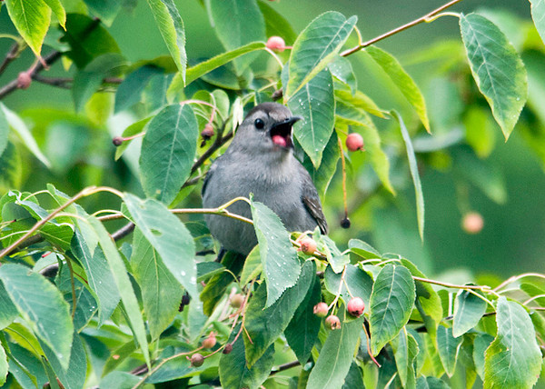 """<div class=""""jaDesc""""> <h4>Catbird - Down It Goes - June 29, 2013 </h4> <p>Once the Catbird has a berry in its beak, it only takes a second or two before they toss their head back quickly and swallow.  I caught this one just before it disappeared.  </p> </div>"""