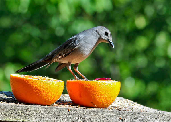 "<div class=""jaDesc""> <h4> Catbird Eating Grape Jelly - June 6, 2014</h4> <p> After finishing off the grape jelly in the first orange half, one of our 2 Catbirds is moving right on to the second half.  Standing on top is a way of claiming it for themselves.  They also enjoy the orange flesh. </p> </div>"