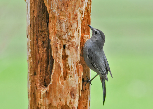 "<div class=""jaDesc""> <h4>Catbird Looking for Suet - May 17, 2016</h4> <p>We now have two pairs of Catbirds.  They love my homemade suet that I spread in this dead pine tree.</p> </div>"
