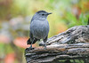"<div class=""jaDesc""> <h4>Catbird Front View - October 1, 2020</h4> <p></p></div>"
