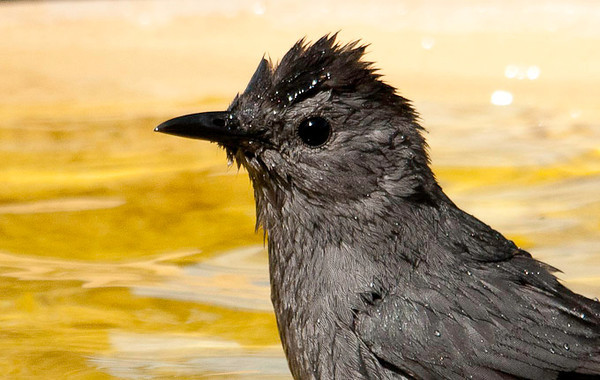 "<div class=""jaDesc""> <h4>Catbird Taking Bath - July 9, 2012 </h4> <p> Mrs. Catbird did not hesitate to jump in and start splashing away.  Between splashes, she would look up at me to see what I was up to.</p> </div>"