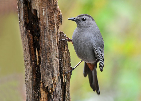 """<div class=""""jaDesc""""> <h4>Male Catbird on Suet Log - May 7, 2017</h4> <p>The red patch under his tail is very obvious in this shot.  He likes my homemade peanut butter suet too.</p> </div>"""