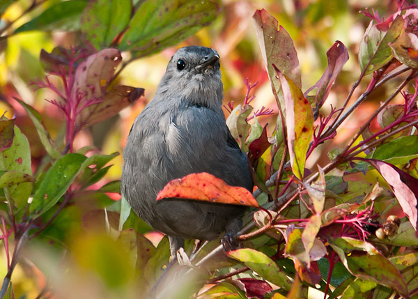 "<div class=""jaDesc""> <h4>Catbird in Fall Color - September 13, 2012 </h4> <p> The Catbirds stick around until they have exhausted their favorite food sources.  One of their favorites in the fall is the enormous wild grape vine that grows up a tall tree down the hill from our house. </p> </div>"