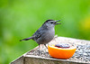 "<div class=""jaDesc""> <h4>Catbird Saying Thank You - May 6, 2020</h4> <p></p></div>"