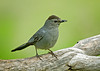 """<div class=""""jaDesc""""> <h4>Catbird on Perch - June 17, 2008 </h4> <p> This is one of 3 pairs of Catbirds that are in our area.  We have one pair nesting across the road from our house, one pair on the corner below our house and another pair up the road from the corner.  They really seem to like nesting in the multi-flora rose bushes that we have way too many of out here.</p> </div>"""