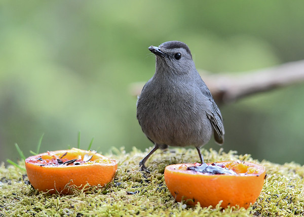 """<div class=""""jaDesc""""> <h4>Catbird - Hmm Which One? - May 2, 2017</h4> <p>This Catbird could not decide between jelly or no jelly.</p> </div>"""
