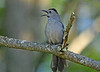 "<div class=""jaDesc""> <h4> Catbird Singing Away - June 5, 2014 - Video Attached</h4> <p> This Catbird followed me as I walked along the road.  Every time I stopped to set up for photos, he found a perch in the open and started singing loudly.  It was nice to have such a friendly side-kick Catbird. </p> </div> <center> <a href=""http://www.youtube.com/watch?v=mUim-k6U2q4"" style=""color: #0AC216"" class=""lightbox""><strong> Play Video</strong></a> </center>"