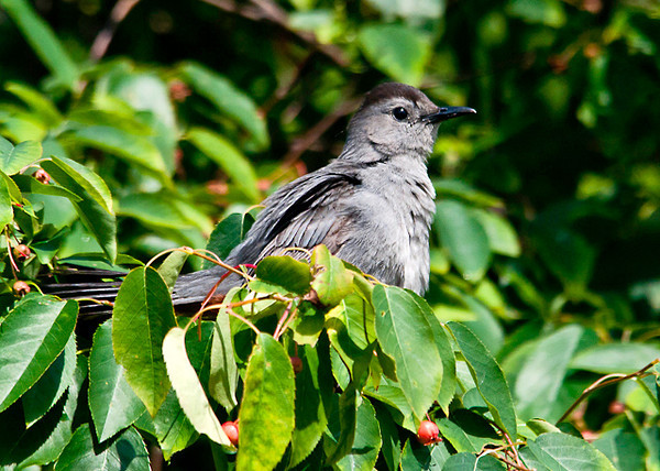 "<div class=""jaDesc""> <h4>Catbird in Serviceberry Tree - June 29, 2013 </h4> <p>This is one of 4 adult Catbirds and some juveniles that are enjoying our serviceberry trees.  They carry on long conversations during much of the day.</p> </div>"