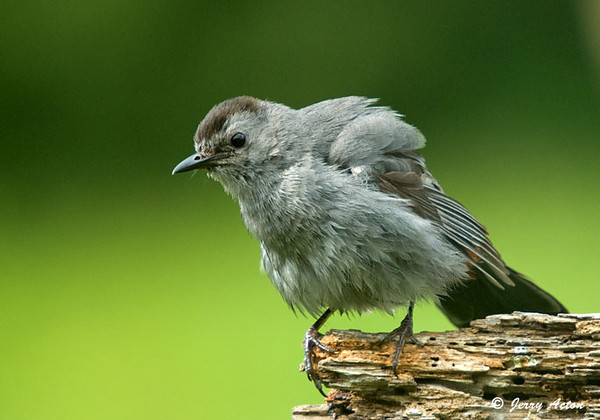"<div class=""jaDesc""> <h4> Catbird Finishing His Grooming - June 26, 2009 </h4> <p> At the end of a vigorous grooming session, this Gray Catbird did an overall body shake.</p> </div>"