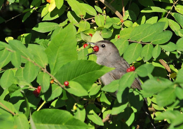"<div class=""jaDesc""> <h4>Catbird Swallowing Honeysuckle Berry - July 11, 2010 </h4> <p>The Catbird swallows the honeysuckle berries by holding them in the front of his beak and tossing them back into his wide open throat with a quick flick. I was lucky to catch this berry just before it disappeared down his throat.</p> </div>"