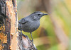 "<div class=""jaDesc""> <h4>Catbird at Suet Log - October 1, 2020</h4> <p></p></div>"