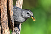 "<div class=""jaDesc""> <h4>Catbird with Suet for Chicks - July 2, 2017</h4> <p>The adult Catbirds are making regular food runs to the nest.</p> </div>"