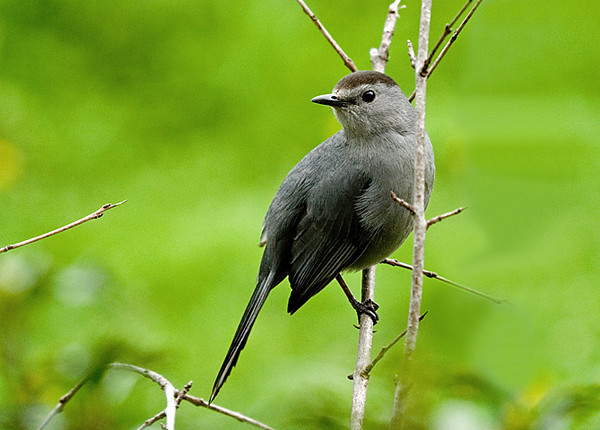 """<div class=""""jaDesc""""> <h4>Catbird on Perch by Holly Bush  May 14, 2008</h4> <p>We have a pair of Catbirds that spend much of the day in our holly bushes in front of our house.  They love the holly berries.  One of them, probably the male, chatters quite a bit. </p> </div>"""