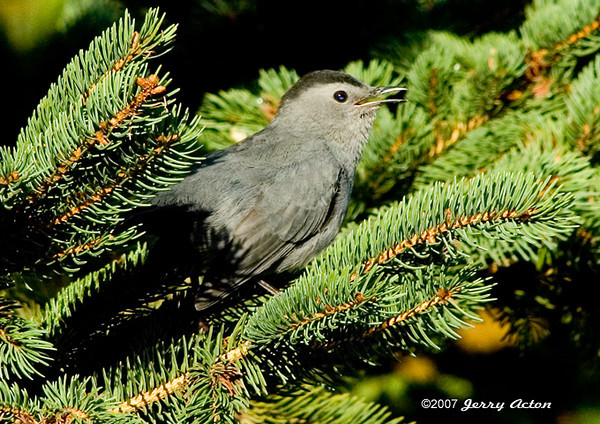 """<div class=""""jaDesc""""> <h4>Catbird in Spruce Branches - September 30, 2006 </h4> <p> Spruce trees provide dense layering that is frequently used by the Catbirds as nest sites.  Here the male Catbird is hanging out in the tree where they nested this summer.</p> </div>"""