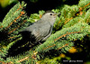 "<div class=""jaDesc""> <h4>Catbird in Spruce Branches - September 30, 2006 </h4> <p> Spruce trees provide dense layering that is frequently used by the Catbirds as nest sites.  Here the male Catbird is hanging out in the tree where they nested this summer.</p> </div>"