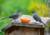"<div class=""jaDesc""> <h4>Catbird Meet at Orange - May 6, 2020</h4> <p>The male on left (red under tail) and female arrived one day apart. </p></div>"