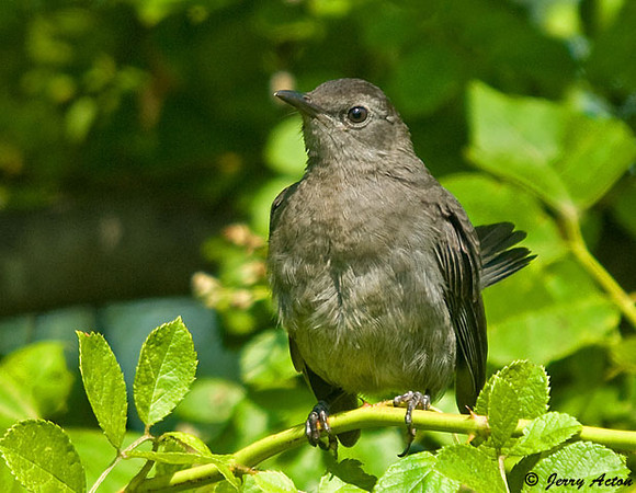 """<div class=""""jaDesc""""> <h4>Mom Catbird Keeping an Eye on Her Young Ones - July 25, 2009 </h4> <p>One of her youngsters was moving around in this bush, so mom Catbird perched on top to keep a lookout for any predators.</p> </div>"""