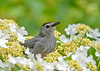 "<div class=""jaDesc""> <h4>Catbird Hunkered Down in Viburnum - June 4, 2019</h4> <p>Blue Jays flew in overhead. </p></div>"