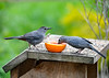 "<div class=""jaDesc""> <h4>Female Catbird Eating Grape Jelly - May 6, 2020</h4> <p>Male let her go first.</p></div>"